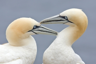 Two_Gannets_edit_2